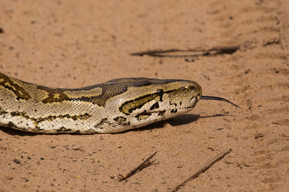 Southern African Rock Python found in Tembe