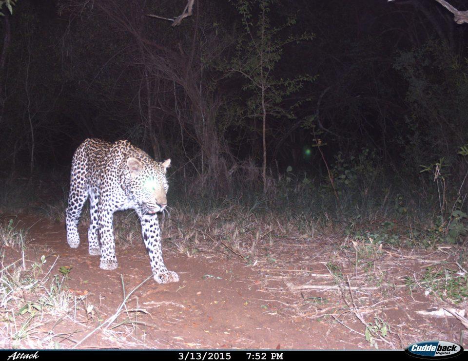Leopard Somkhanda