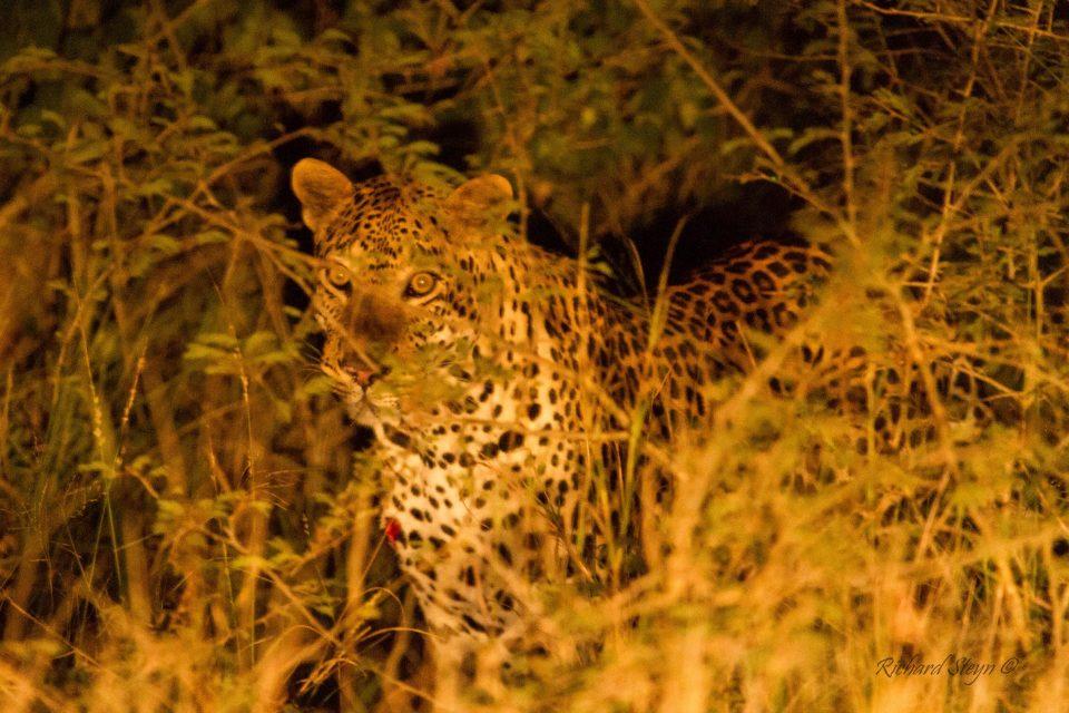 Somkhanda Camera Trap Images Leopard