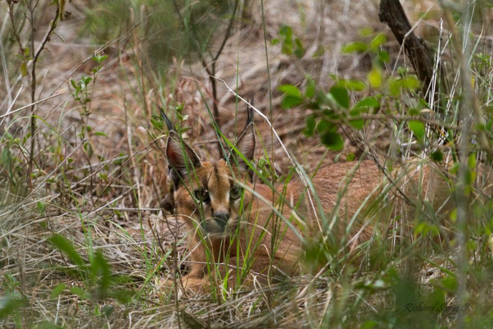 Rare Caracal Sighting on Somkhanda Game Reserve, Wildlife ACT