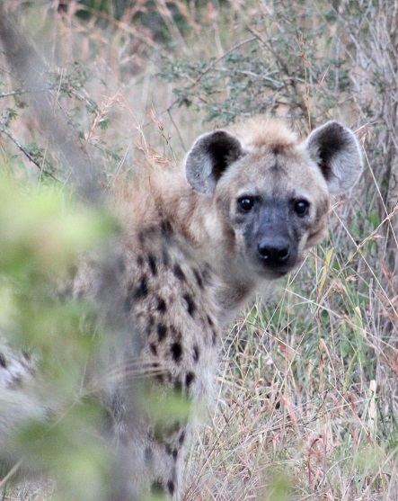 Steph De May Hyena - wildlife act - Formidable Species
