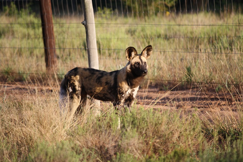 Wild Dog, Tembe Elephant Park, Wildlife ACT