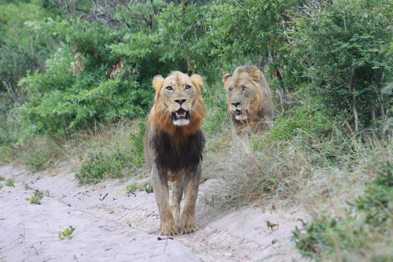 UMBALI AND DUMA LIONS IN TEMBE