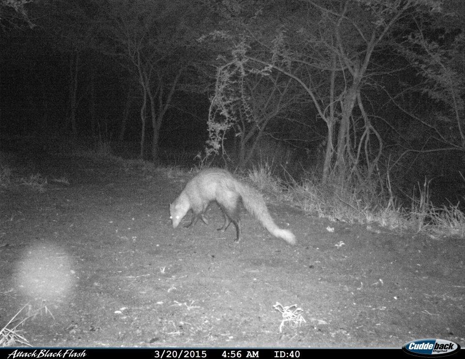 Somkhanda Camera Trap Images White-tailed mongoose Somkhanda