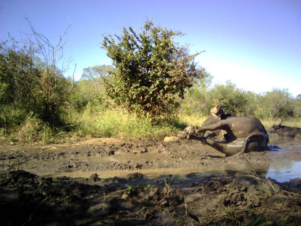buffalo camera trap hlulhluwe - wildlife act