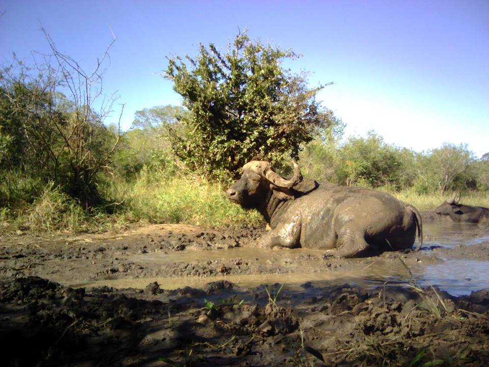 buffalo camera trap hlulhluwe