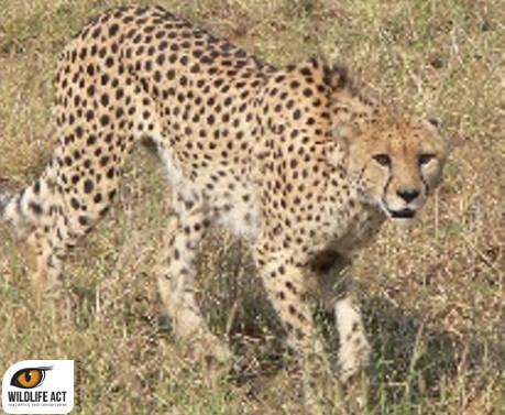 cheetah imfolozi, wildlife act