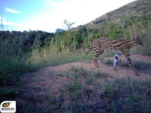 serval on ithala