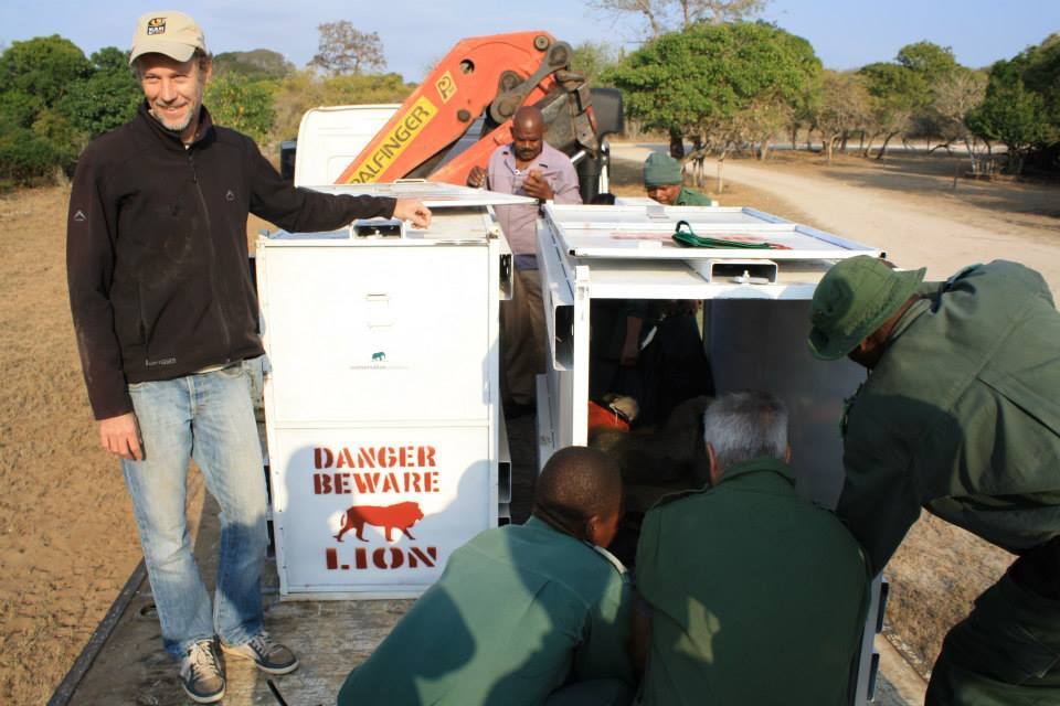 Lion relocation Tembe