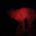 Leopard Okavango Night 2