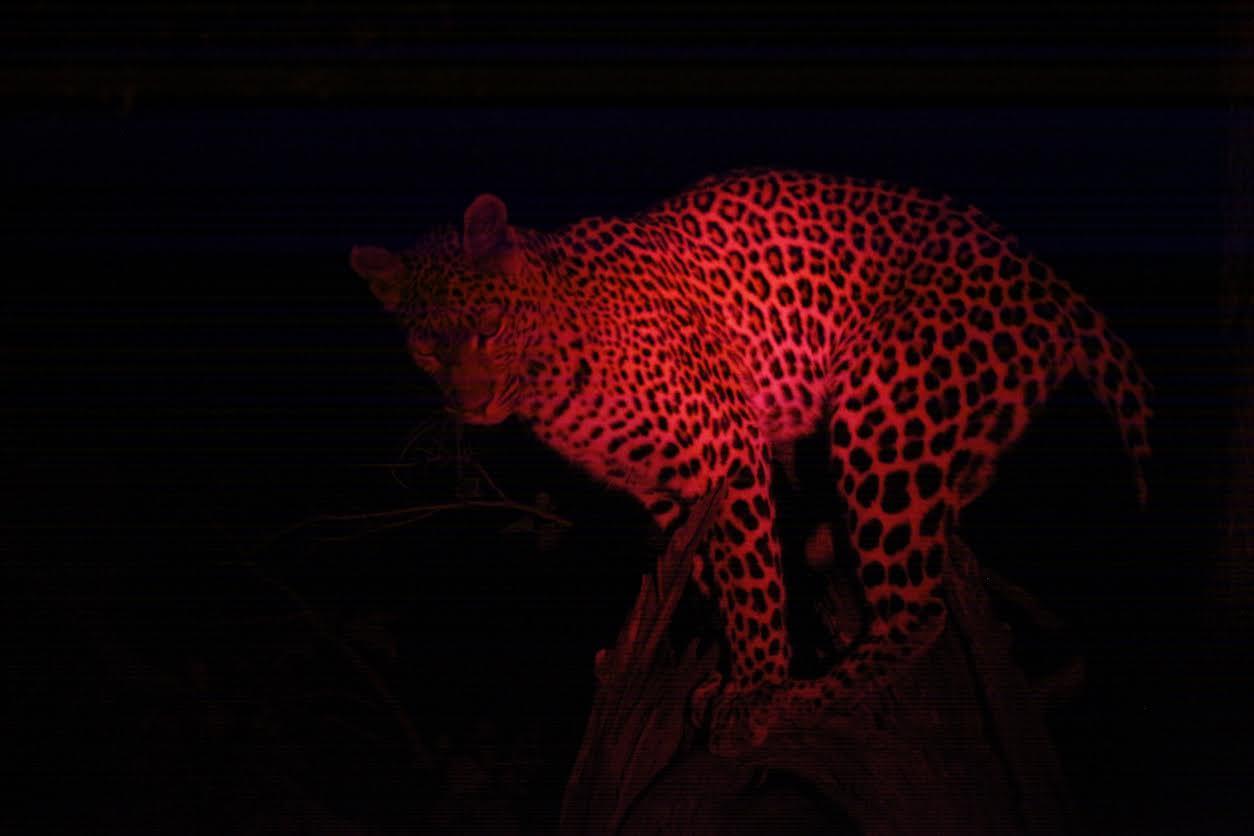 Leopard Okavango Night 2