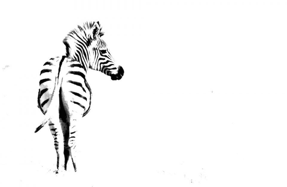 Zebra 1 Chobe Enclave