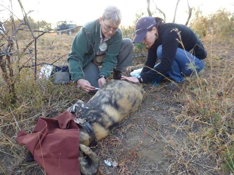 wild dog and vet