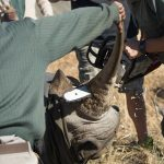 No Horn, no poaching. Rhino Dehorning in progress.