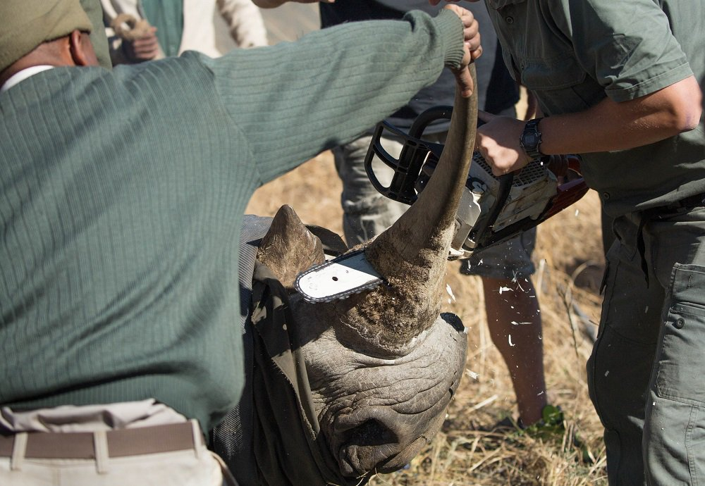 Rhino Dehorning Explained