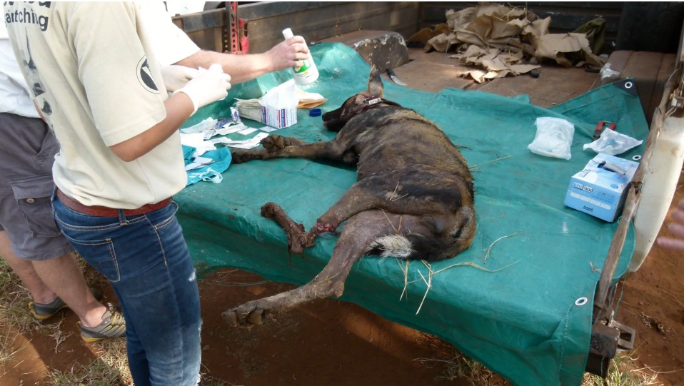 African Wild Dog Behaviour Snares