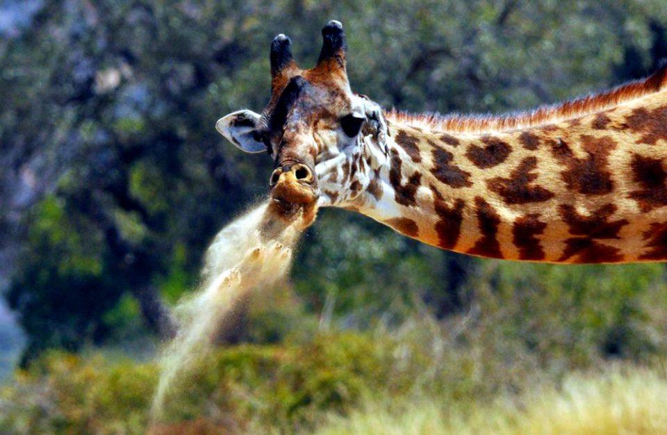 Giraffe Geophagy