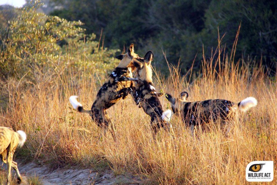 African Wild Dog Behaviour, Monitoring & Conservation