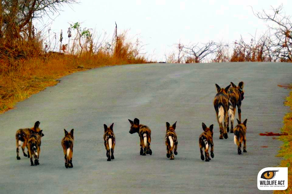 Pictures Of A Pack Of Wild Dogs