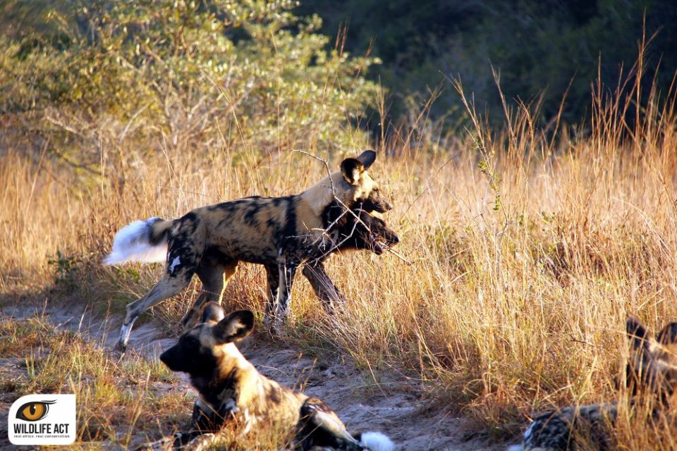 Help Us Rescue Wild Dogs From Snares - Tembe Wild Dog Pack