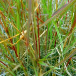 Smells of Nature - Giant Turpentine Grass small