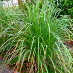 Smells of Nature - Lemon Grass small