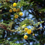Smells of Nature - SCENTED POD ACACIA