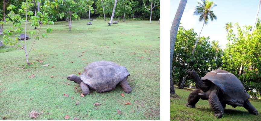 Aldabra Giant Tortoises are listed as Vulnerable on the IUCN Red List and there is a healthy population of these tortoises on the island, some introduced, and the oldest estimated at about 150 years old. Seychelles Conservation Project 2