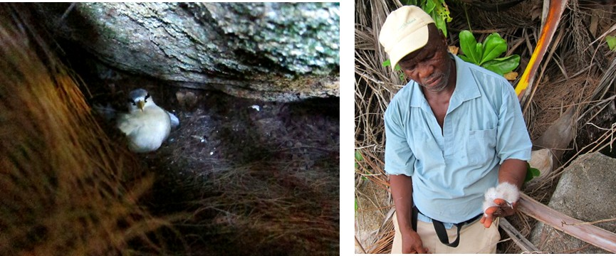 Left, white tailed tropic bird on its nest in a rock crevice. Right, Elliot with a dead white tailed tropic bird chick, sadly killed by crabs in its nest. Only about 50% of all chicks survive to fledging. Seychelles Conservation Project 4
