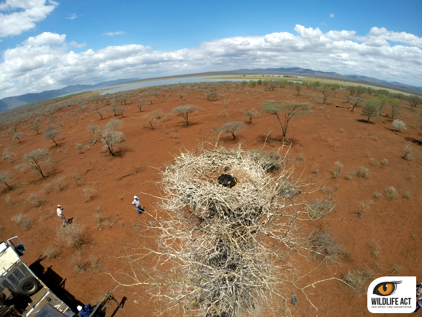 Zululand Vulture Tagging 2015