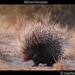 African_porcupine