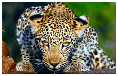 Leopard Survey