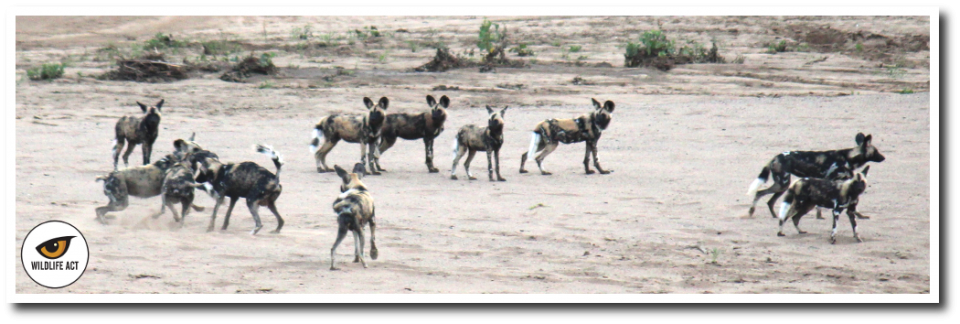Sokwezela Wild Dog Pack. Photos by: Michelle Schlemmer