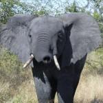 Elephant smelling - Nicole Clark