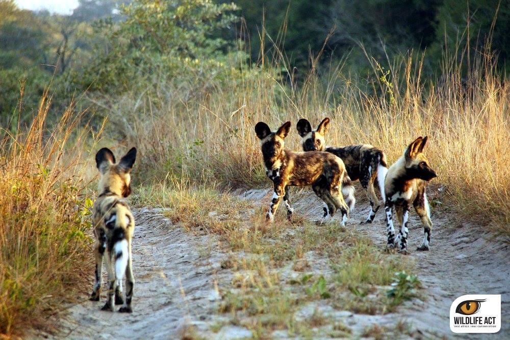 Somkhanda Wild Dogs. Photo: Andreas Schneider
