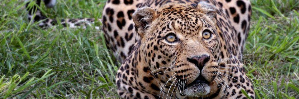 Leopard Header