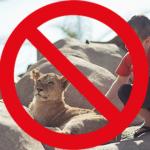 Lion-Cub-Petting
