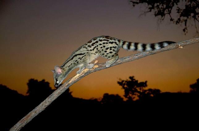 Spotted Genet at Somkhanda Game Reserve