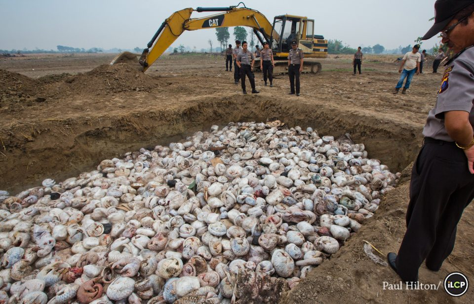 World Pangolin Day 2016 - National police look in at 3 to 4 thousand Frozen pangolins lying in a pit before being burnt, 29th April 2015 Medan Indonesia. After a pangolin bust conducted by the Indonesian National Police along side WCS's Wildlife Crimes Unit. The Haul of the World's Most Hunted Animal is valued on the street at USD 1.8 million. Photo: Paul Hilton of WCS