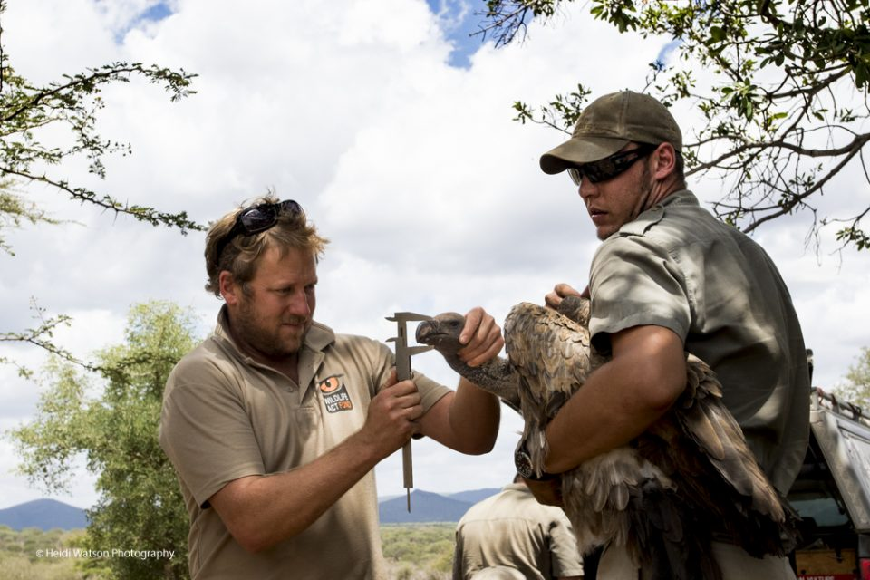 Vulture Tagging Project 1