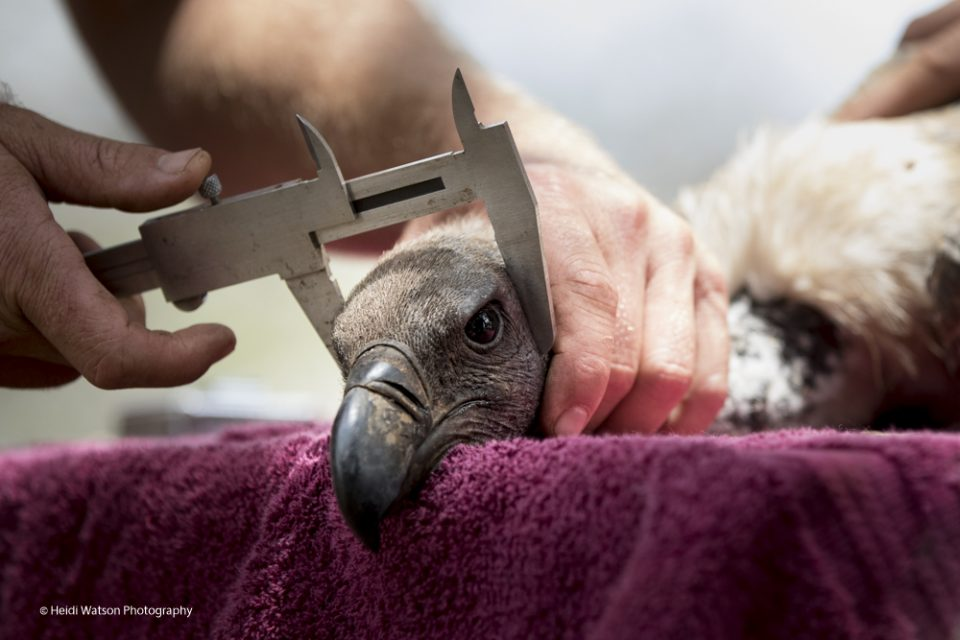 Vulture Tagging Project 2