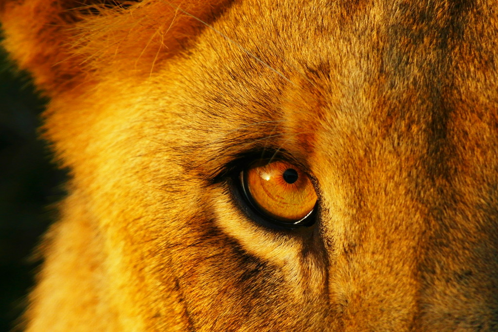 Lion Eye - Photo by Michael Herbst