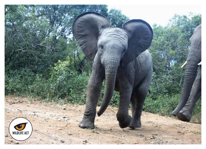 Baby Elephant - Wild Animal Facts