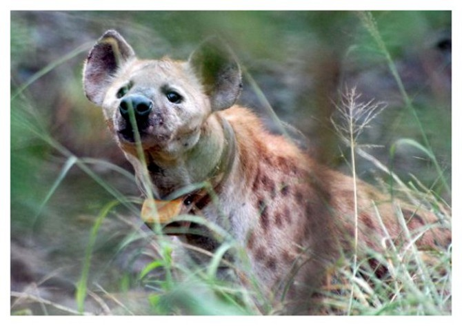 Collared Hyena. Photo by Linda Cockburn. Hyena are a priority species