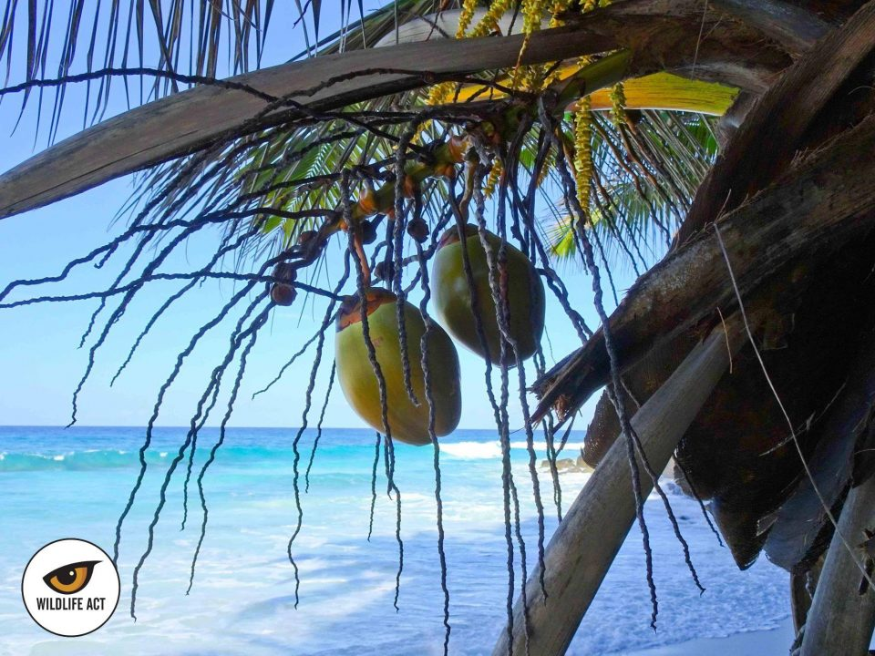 Seychelles Coconut Palms - Photo by Pia Tveraa