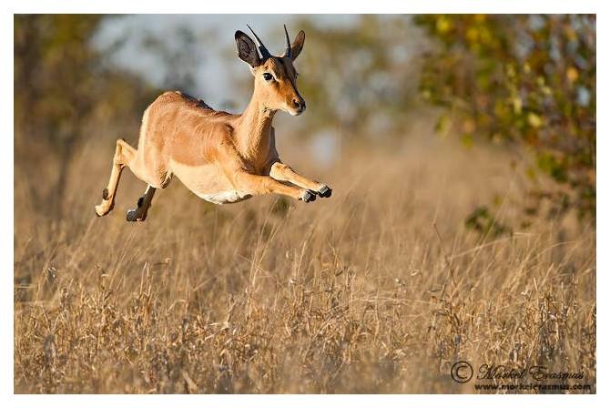 Impala Jumping