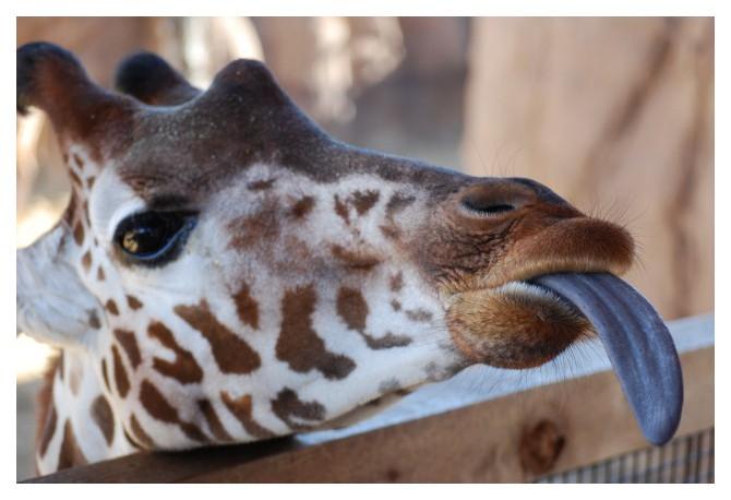 Wild Animal Facts Giraffes