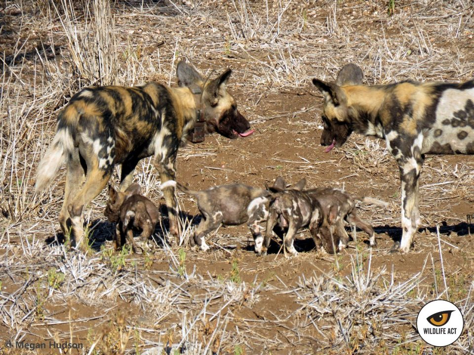 The first litter of African Wild Dog puppies has come to Zululand Rhino Reserve! Wild Dog puppies with full bellies after the adults have returned from the hunt to feed the others. Photo by Megan Hudson
