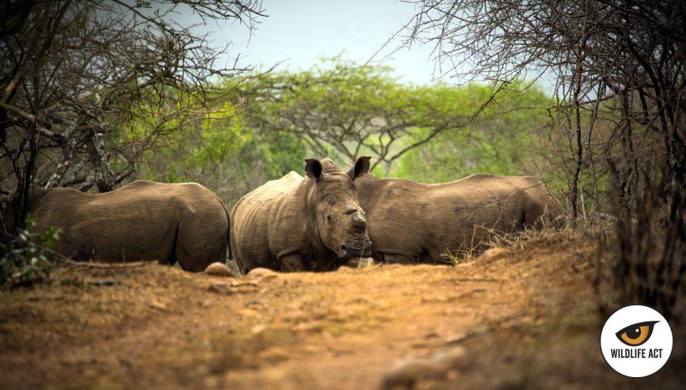 Rhino Africa Somkhanda