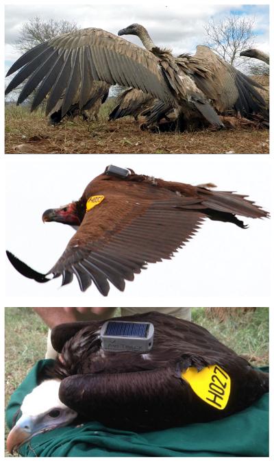 Vulture Profiles